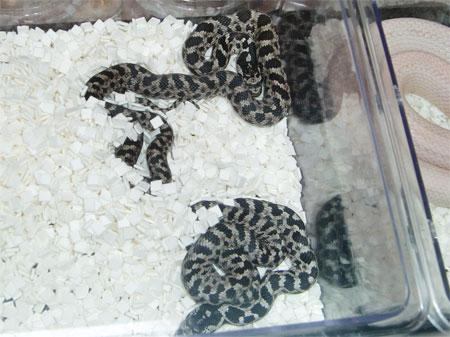 タイリクシマヘビ