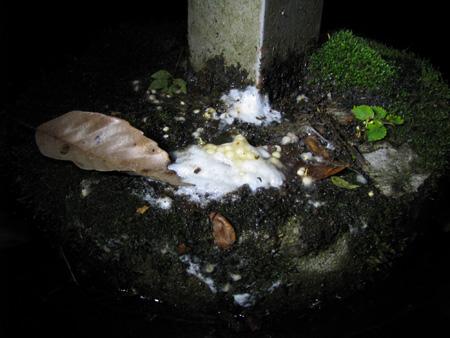 モリアオガエル卵塊