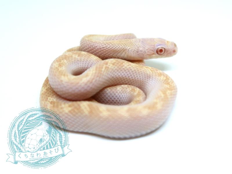 アルビノリコリス