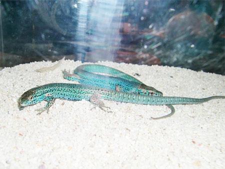 カメリアーナカベカナヘビ
