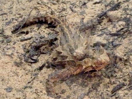 モロクトカゲ1